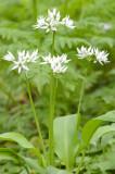700_4897F daslook (Allium ursinum, Ramsons).jpg