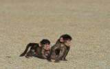 D40_2826F beerbaviaan of Kaapse baviaan (Papio ursinus, Chacma baboon).jpg