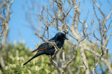 D40_2674F red-winged starling.jpg