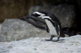 D40_1828F zwartvoetpinguïn (Spheniscus demersus, African Penguin).jpg