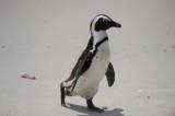 D40_1957F zwartvoetpinguïn (Spheniscus demersus, African Penguin).jpg
