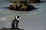 D40_2289F zwartvoetpinguïn (Spheniscus demersus, African Penguin).jpg