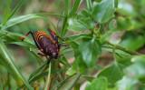D40_2381F Elegant Grasshopper.jpg