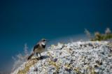 D40_2292F Cape Wagtail (Motacilla capensis).jpg