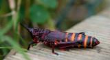 D40_2328F Elegant Grasshopper.jpg