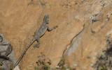 D40_3384F southern rock agama (Agama atra).jpg
