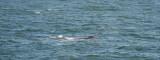 D40_3581F southern right whale (Eubalaena australis).jpg