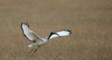 D40_3822F sacred ibis flying (Threskiornis Aethiopicus).jpg