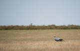 D40_3937F blue crane (Anthropoides paradiseus).jpg