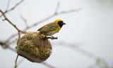 D40_4015F Southern (Vitelline-African) Masked Weaver (Ploceus velatus).jpg