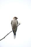 D40_4057F greater striped swallow (Hirundo Cucullata).jpg