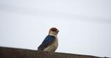 D40_4093F greater striped swallow (Hirundo Cucullata).jpg