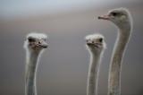 D40_4219F struisvogel (Struthio camelus, Common Ostrich).jpg