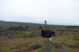 D40_4355F struisvogel (Struthio camelus, Common Ostrich).jpg
