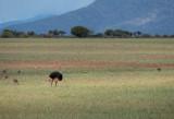 D40_4392F struisvogel (Struthio camelus, Common Ostrich).jpg