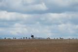 D40_4449F struisvogel (Struthio camelus, Common Ostrich).jpg
