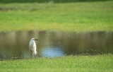 D40_4577F kleine zilverreiger (Egretta garzetta, Little Egret).jpg