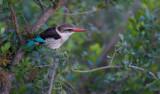 D40_4752 gestreepte ijsvogel (Halcyon chelicuti, Striped Kingfisher).jpg