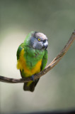 D40_4781F senegal parrot (Poicephalus senegalus).jpg