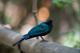 D40_4798F longtailed starling (Aplonis magna).jpg