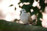 D40_4813F barbary dove (Streptopelia indica).jpg