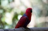 D40_4832F eclectus parrot female (Eclectus roratus).jpg