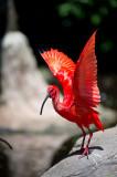 D40_4999F scarlet ibis (Eudodmus ruber).jpg