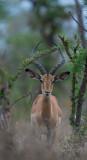 D40_6083F impala (Aepyceros melampus, impala).jpg