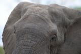 D40_6158F Afrikaanse olifant (Loxodonta africana, African Elephant).jpg