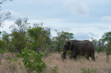 D40_6169F Afrikaanse olifant (Loxodonta africana, African Elephant).jpg