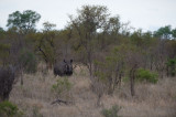 D40_6188F witte neushoorn of breedlipneushoorn (Ceratotherium simum, White rhinoceros).jpg