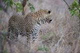 D40_6262F luipaard (Panthera pardus, leopard).jpg