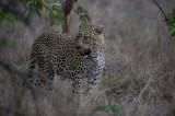 D40_6265F luipaard (Panthera pardus, leopard).jpg