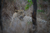 D40_6317F luipaard (Panthera pardus, leopard).jpg