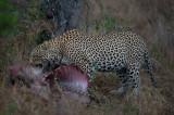 D40_6341F luipaard (Panthera pardus, leopard).jpg