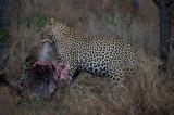 D40_6342F luipaard (Panthera pardus, leopard).jpg