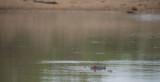 D40_6547F nijlpaard (Hippopotamus amphibius, Hippopotamus).jpg