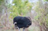 D40_6608F struisvogel (Struthio camelus, Common Ostrich).jpg