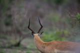 D40_6631F impala (Aepyceros melampus, impala).jpg