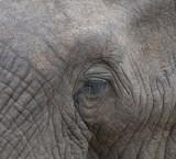 D40_6156F Afrikaanse olifant (Loxodonta africana, African Elephant).jpg