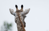 D40_6445F giraf (Giraffa camelopardalis, Giraffe).jpg
