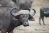 D40_6701F African buffalo or Cape buffalo (Syncerus caffer).jpg