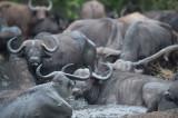 D40_6742F African buffalo or Cape buffalo (Syncerus caffer).jpg
