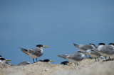 D40_2397F swift (greater crested) tern (Sterna bergii).jpg
