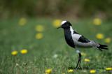 D40_4665F smidsplevier (Vanellus armatus, Blacksmith plovier).jpg