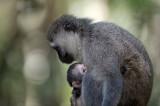 D40_5225F vervet, Zuid-Afrikaanse groene meerkat of blauwaap (Chlorocebus pygerythrus, Vervet monkey).jpg
