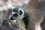 D40_5329F ringstaartmaki (Lemur catta, Ring-tailed lemur).jpg