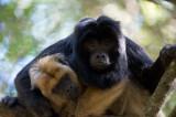 D40_5366F zwarte brulaap (Alouatta caraya, South American howler monkey).jpg