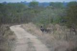 D40_6924F steppezebra (Equus quagga, Burchell's zebra).jpg