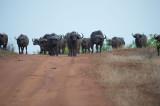 D40_7257F African buffalo or Cape buffalo (Syncerus caffer).jpg
